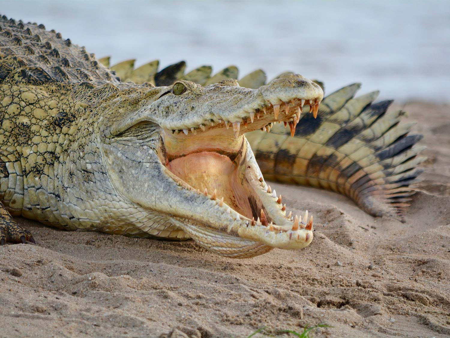 A large crocodile with its mouth open on a sandbar.