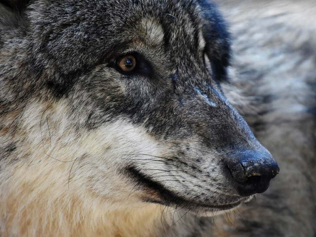 Close up detail of a large wolf head.