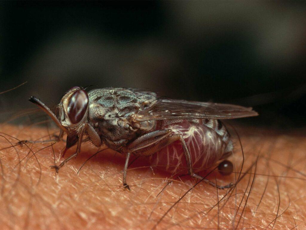 A close up image of a tsetse fly.