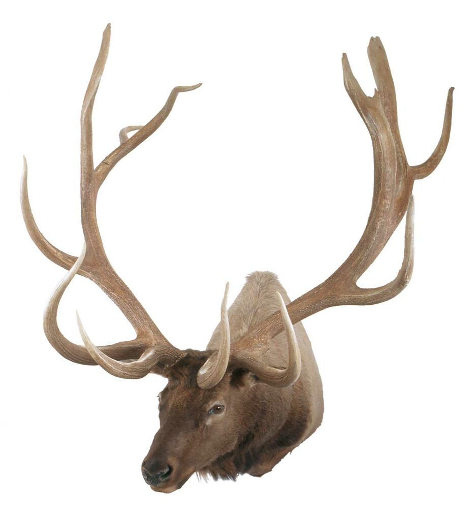 An elk trophy mount on a white background.