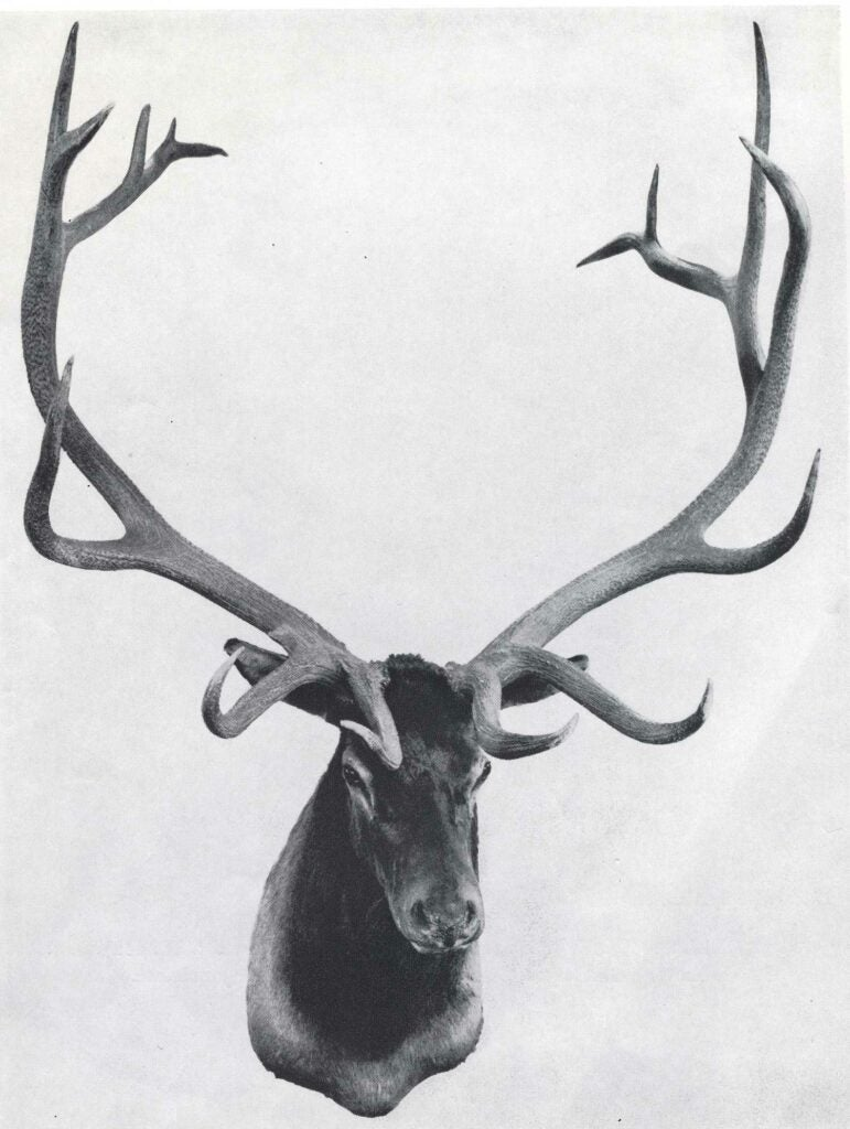 A black and white image of a trophy elk mount.