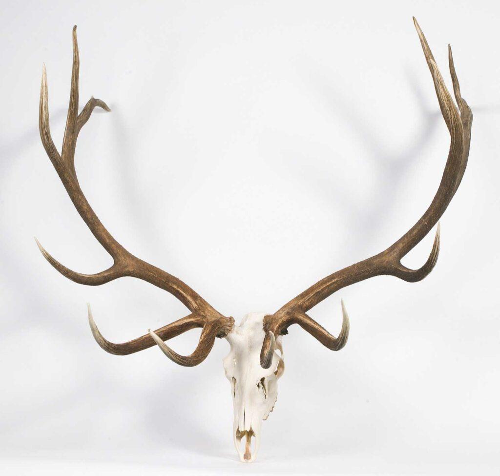 An elk antler trophy on a white background.