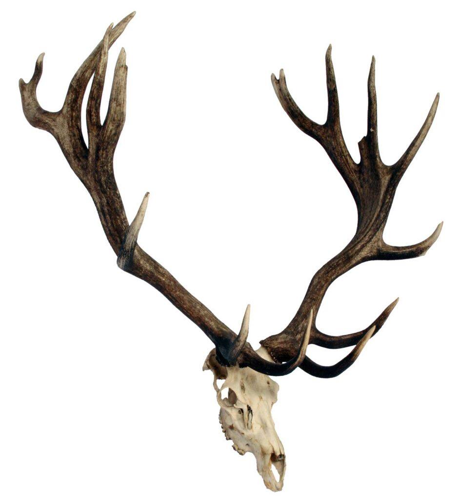 An elk antler trophy mount on a white background.