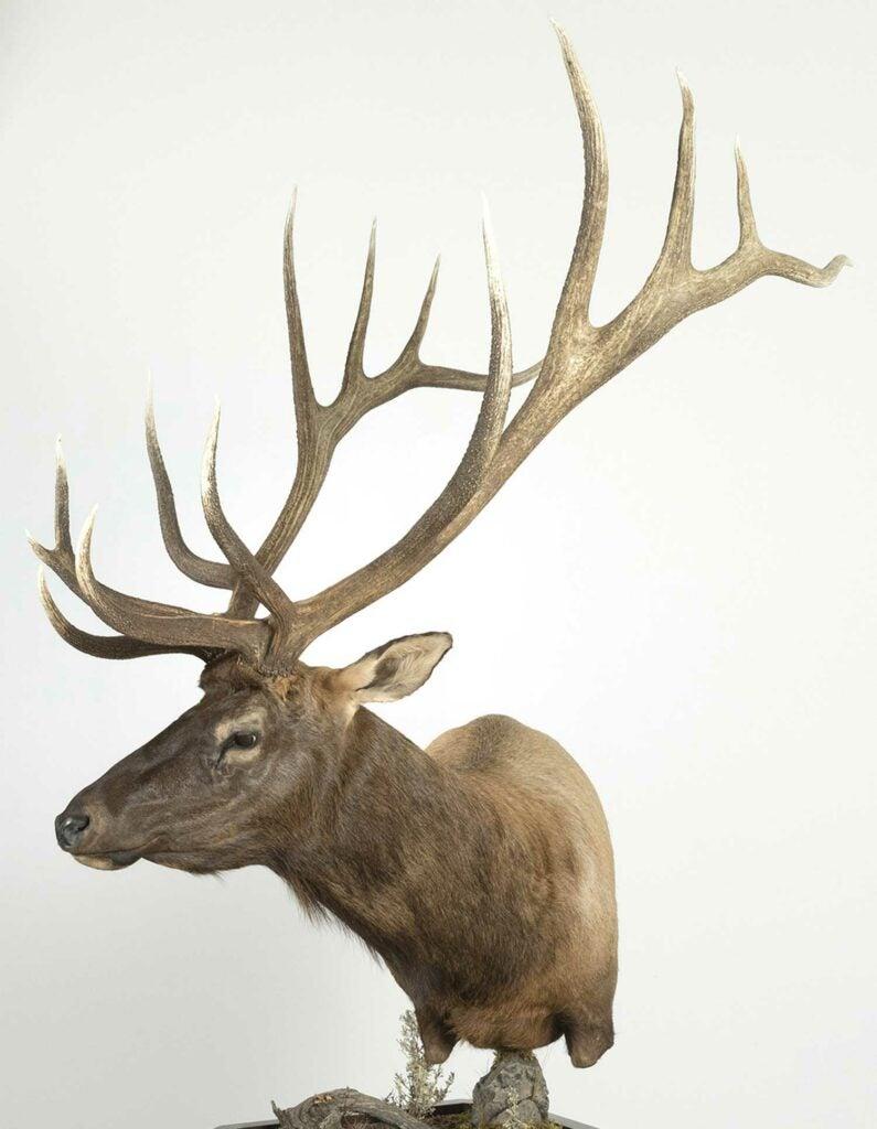 A trophy elk mount on a white background.