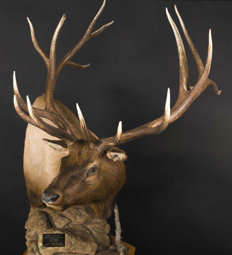 A trophy elk mount on a black background.