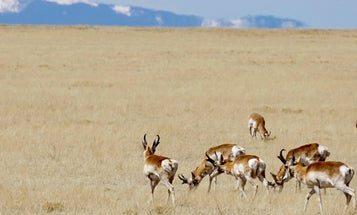 How to Choose the Right Rifle Hunting Setup for Pronghorn Antelope