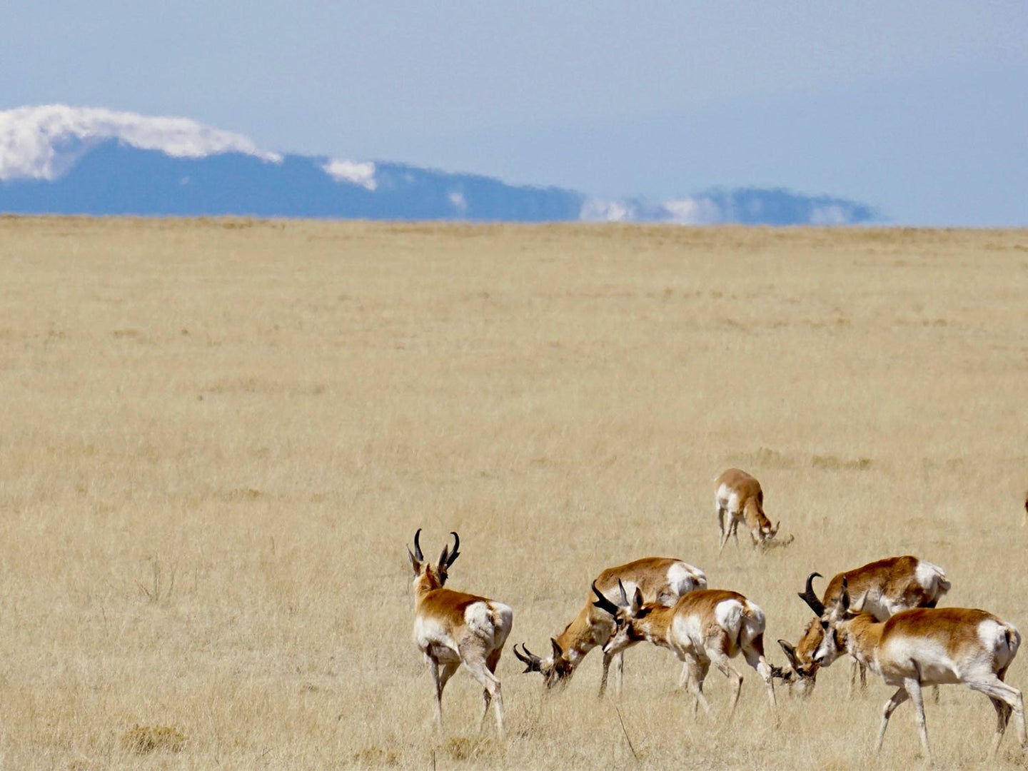 A herd of antelopes in a large open plain.