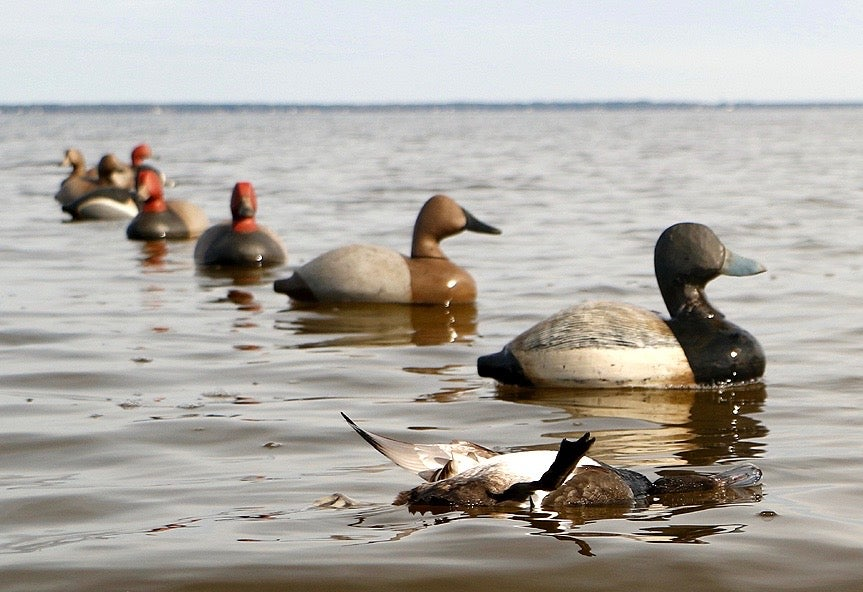 line of canvasback duck decoys in the water.