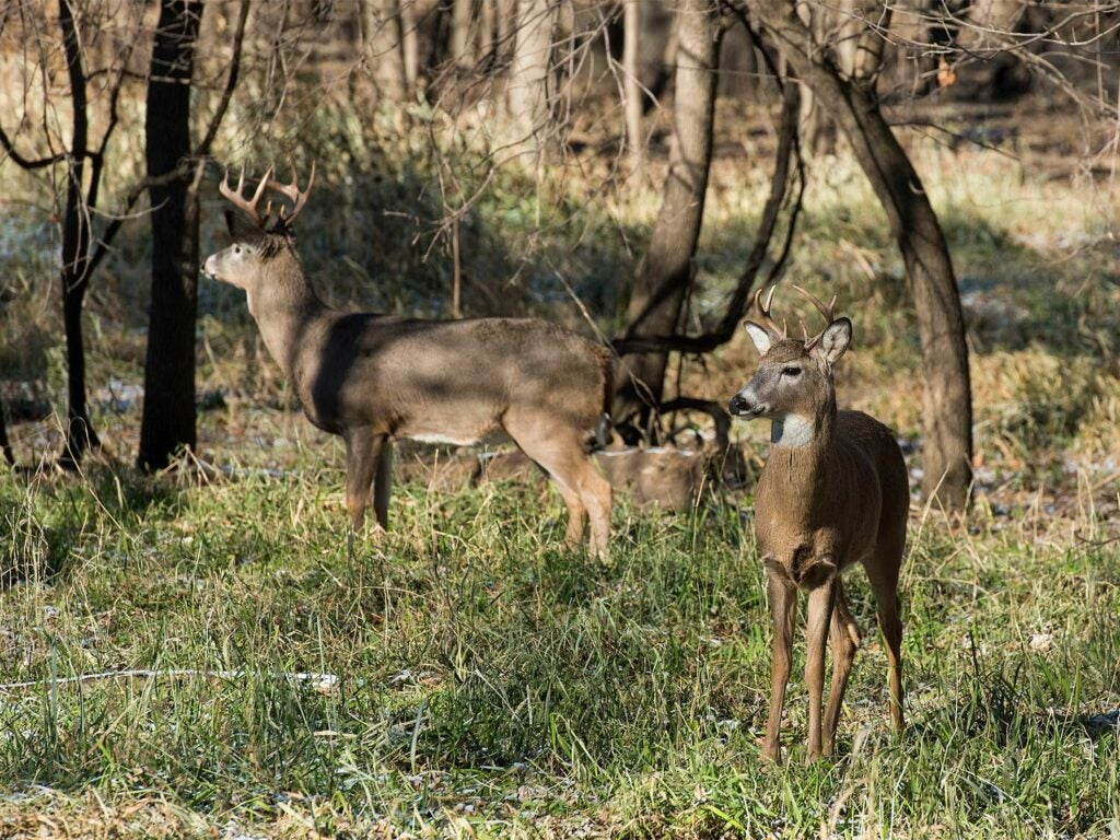 Two whitetail bucks stand in the woods.