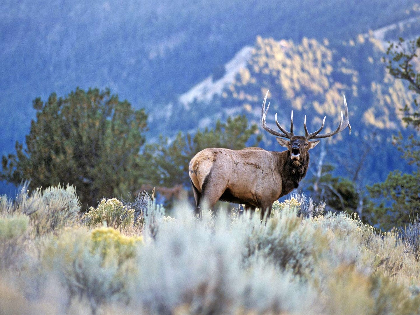 A large elk stands in a large open field with a mountain range in the distance.