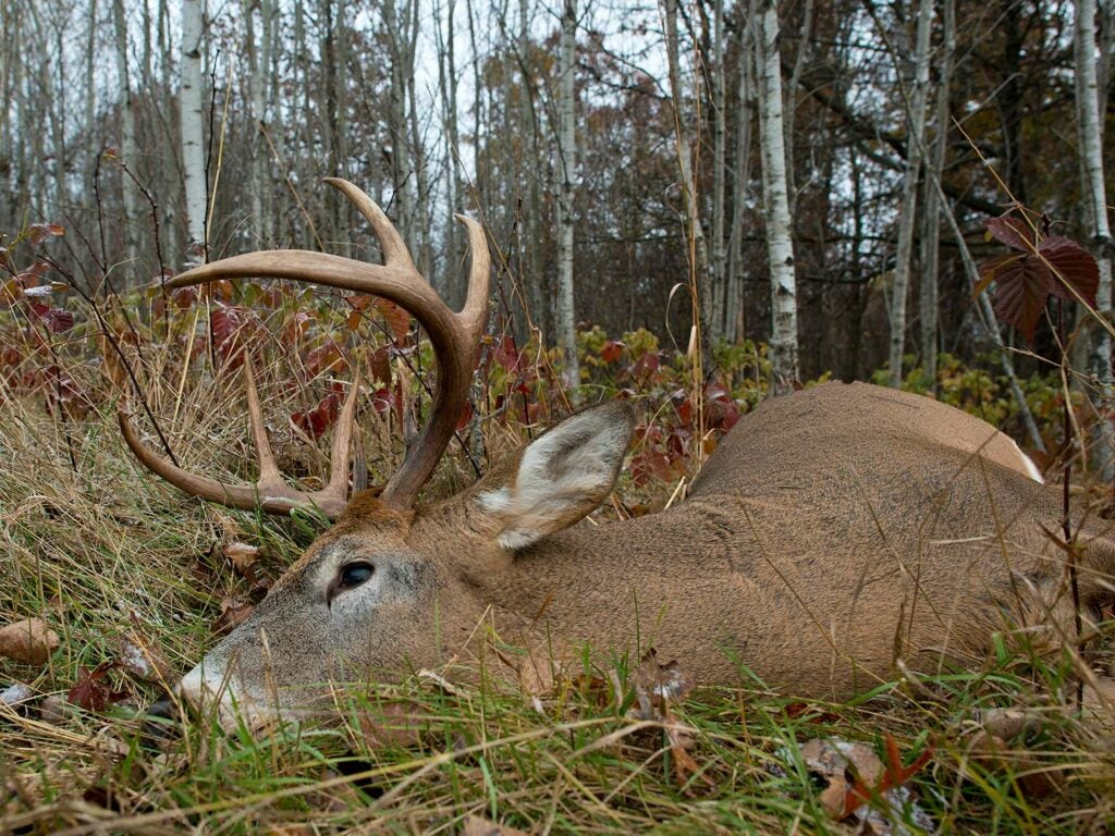 A whitetail deer in dead in the grass in the woods.