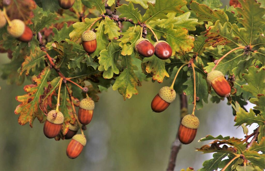 A branch of acorns hanging from a tree branch.