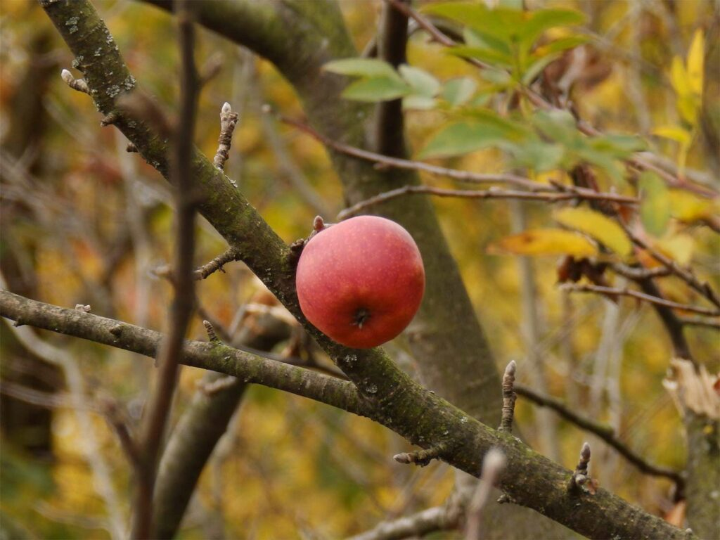 A single apple hanging from the branch of a tree.