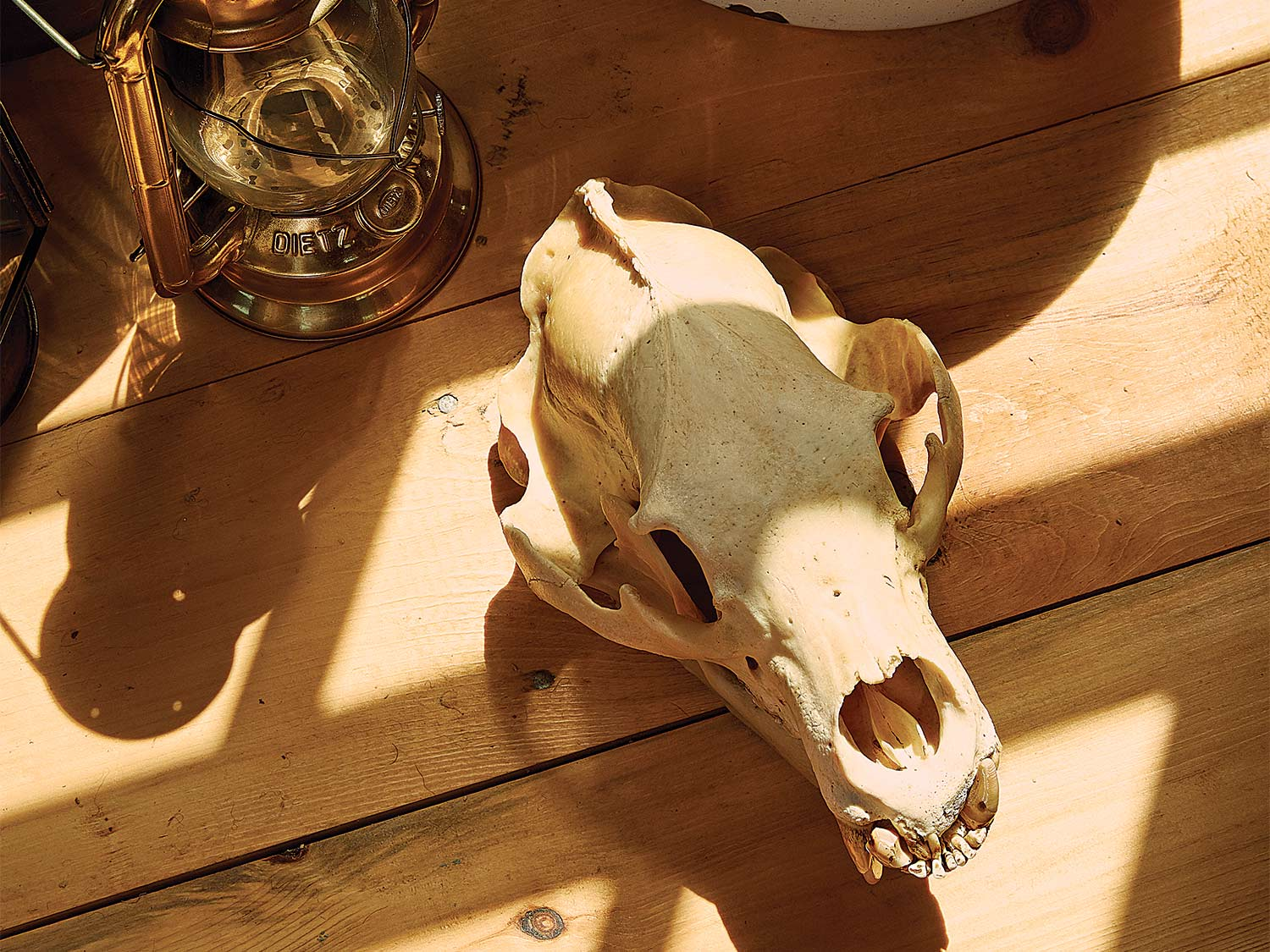 An animal skull on a wooden floor next to a old oil lamp.