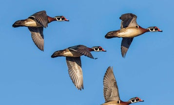 Why Are Early Wood Ducks and Teal So Tough to Shoot?