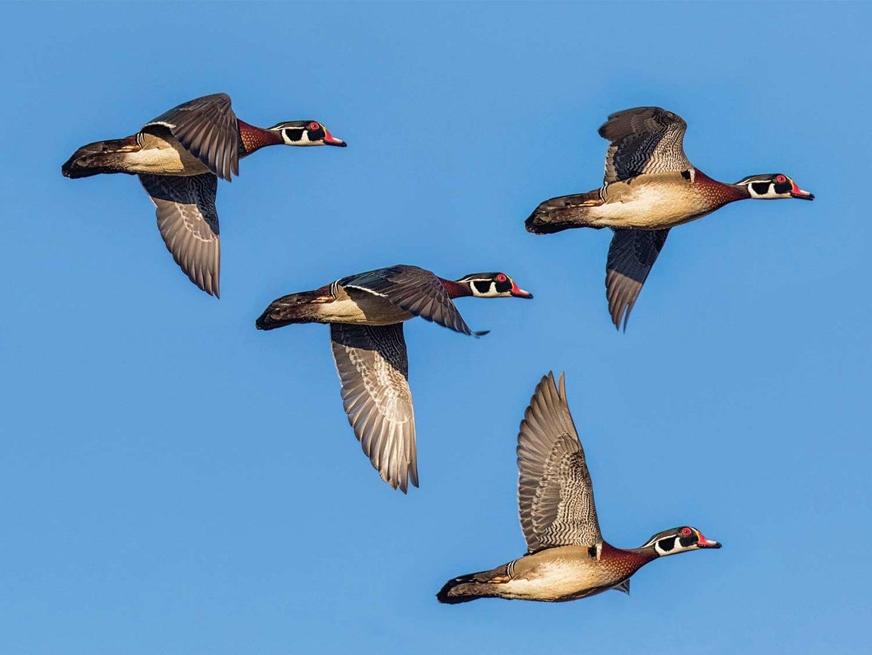 A flock of four wood ducks in flight in a blue sky.