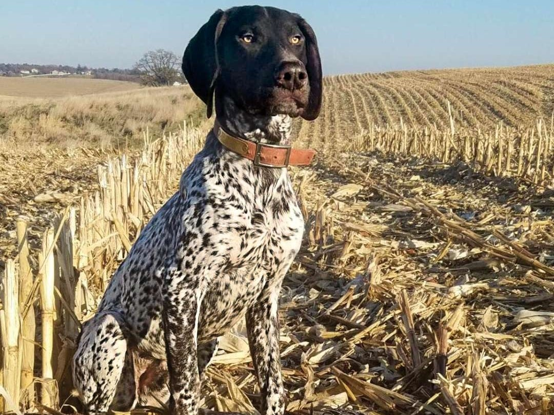 A german shorthaired pointer in a field next to a pheasant.