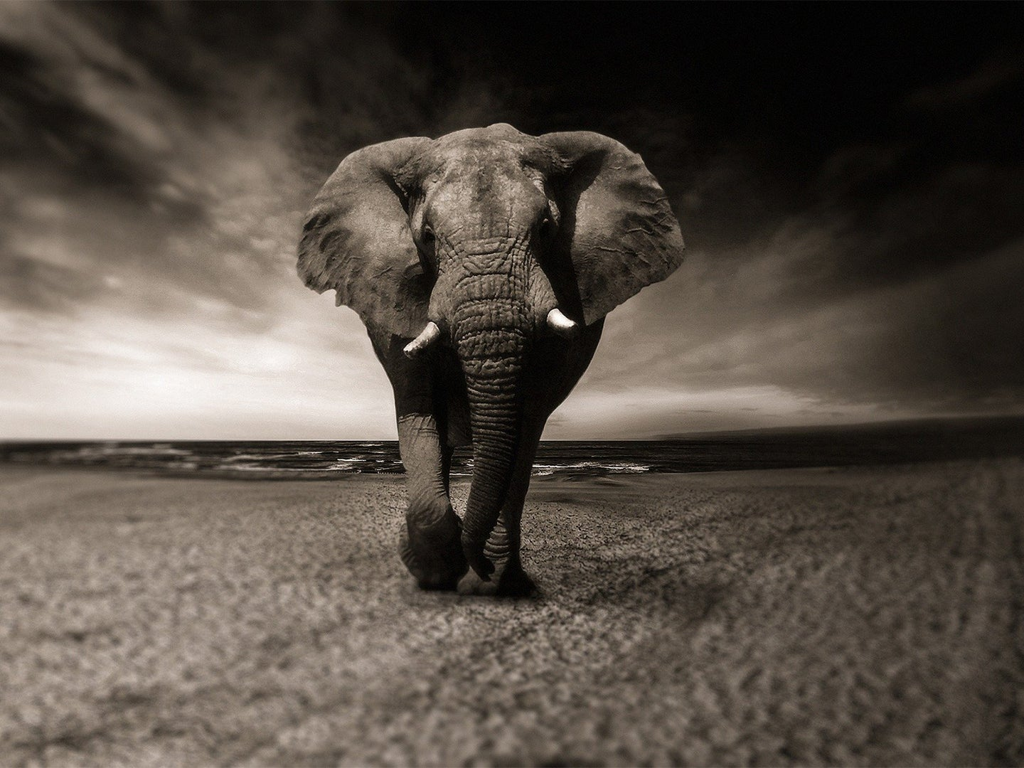 Black and white image of an elephant walking towards the camera on a dry dirt ground.
