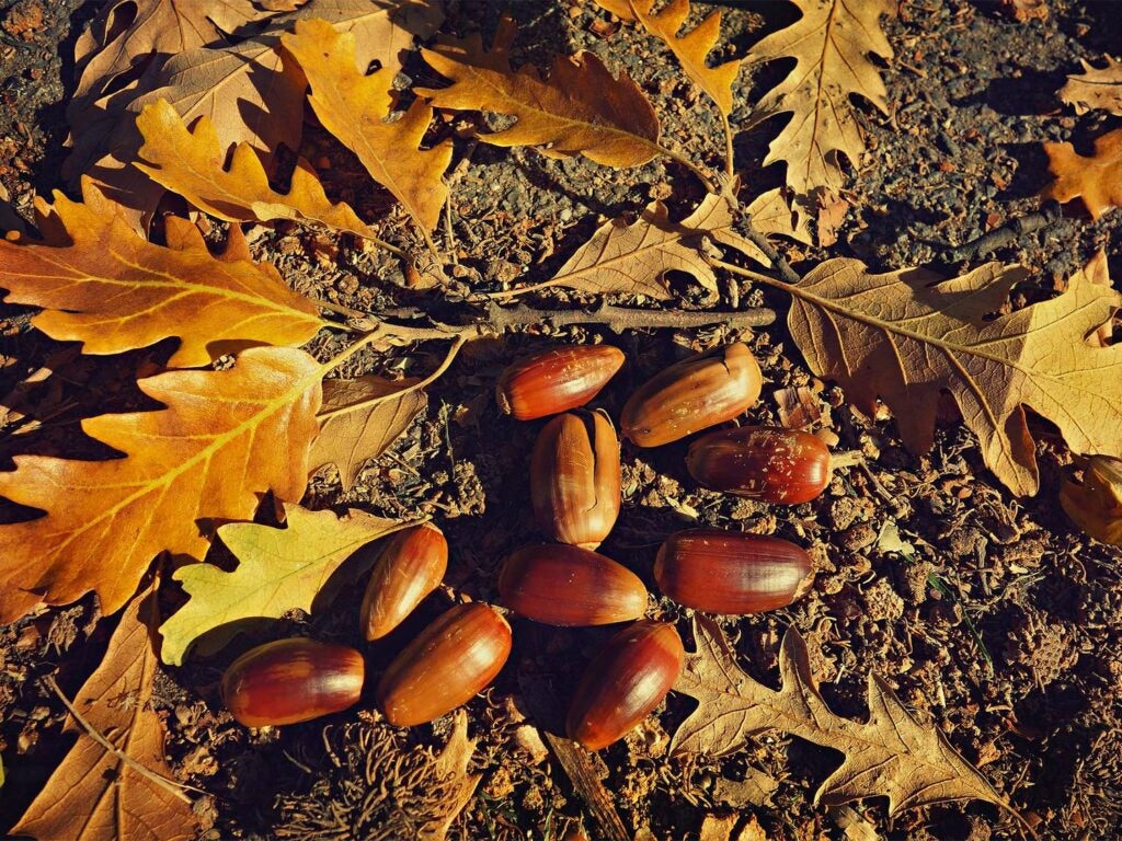 A handful of acorns on the ground with leaves.