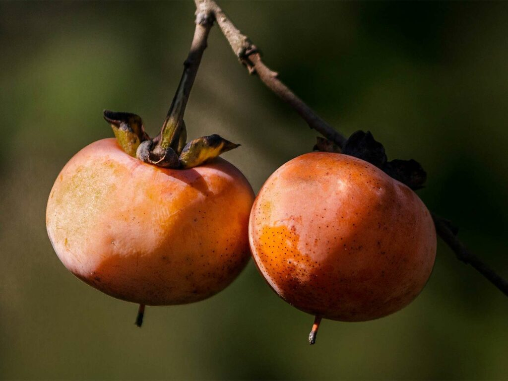 Two wild persimmons hanging from a tree branch.