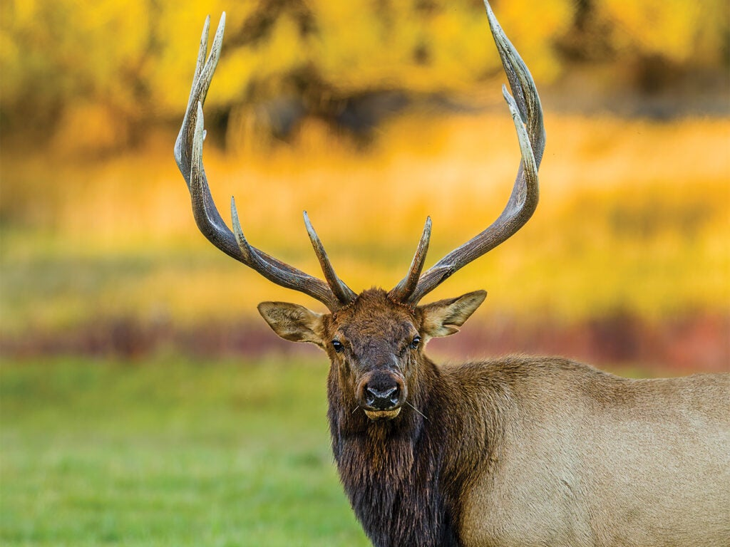 A large bull elk stands in an open field.