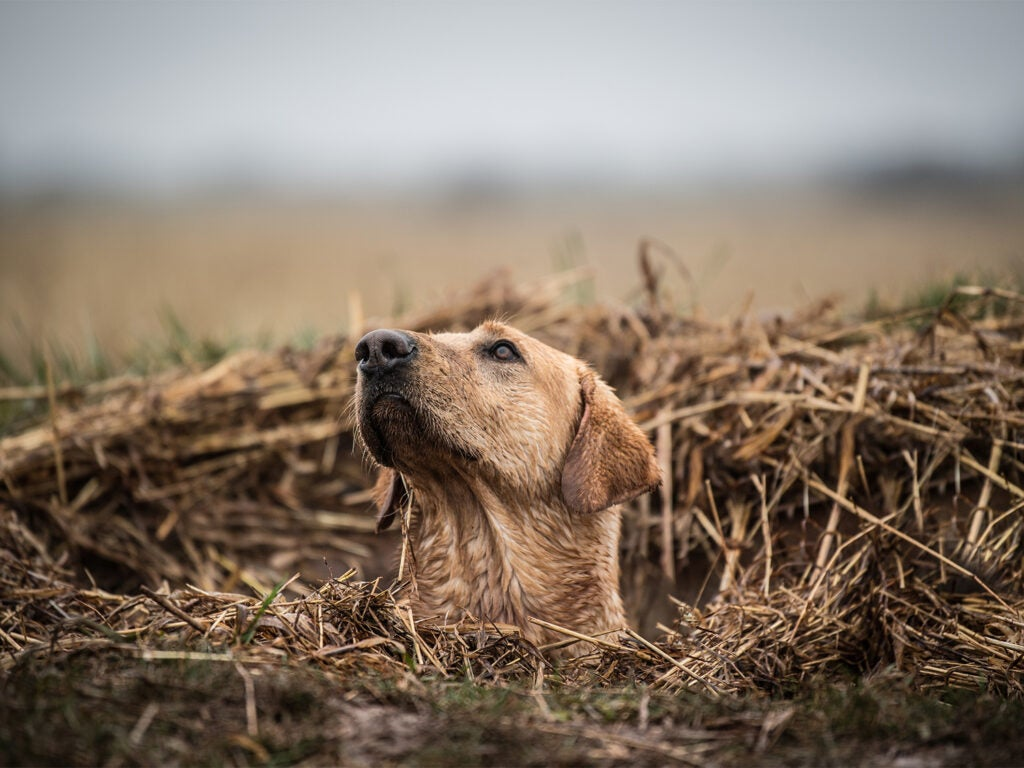 A hunting dog surrounded by brush in a swamp.