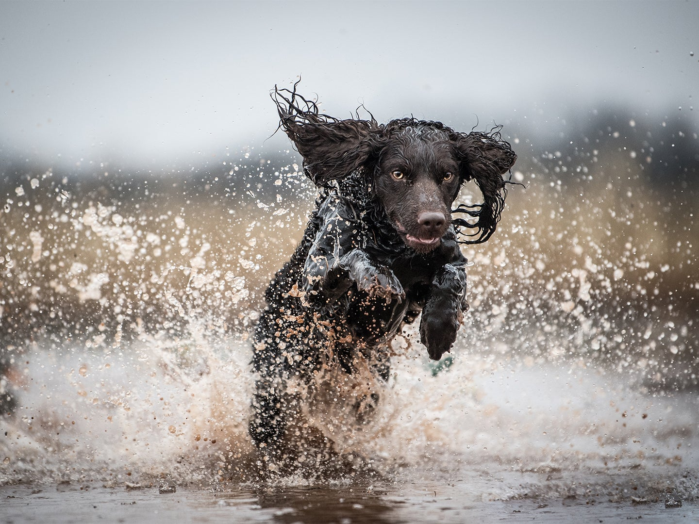 A hunting dog retrieving in the water.