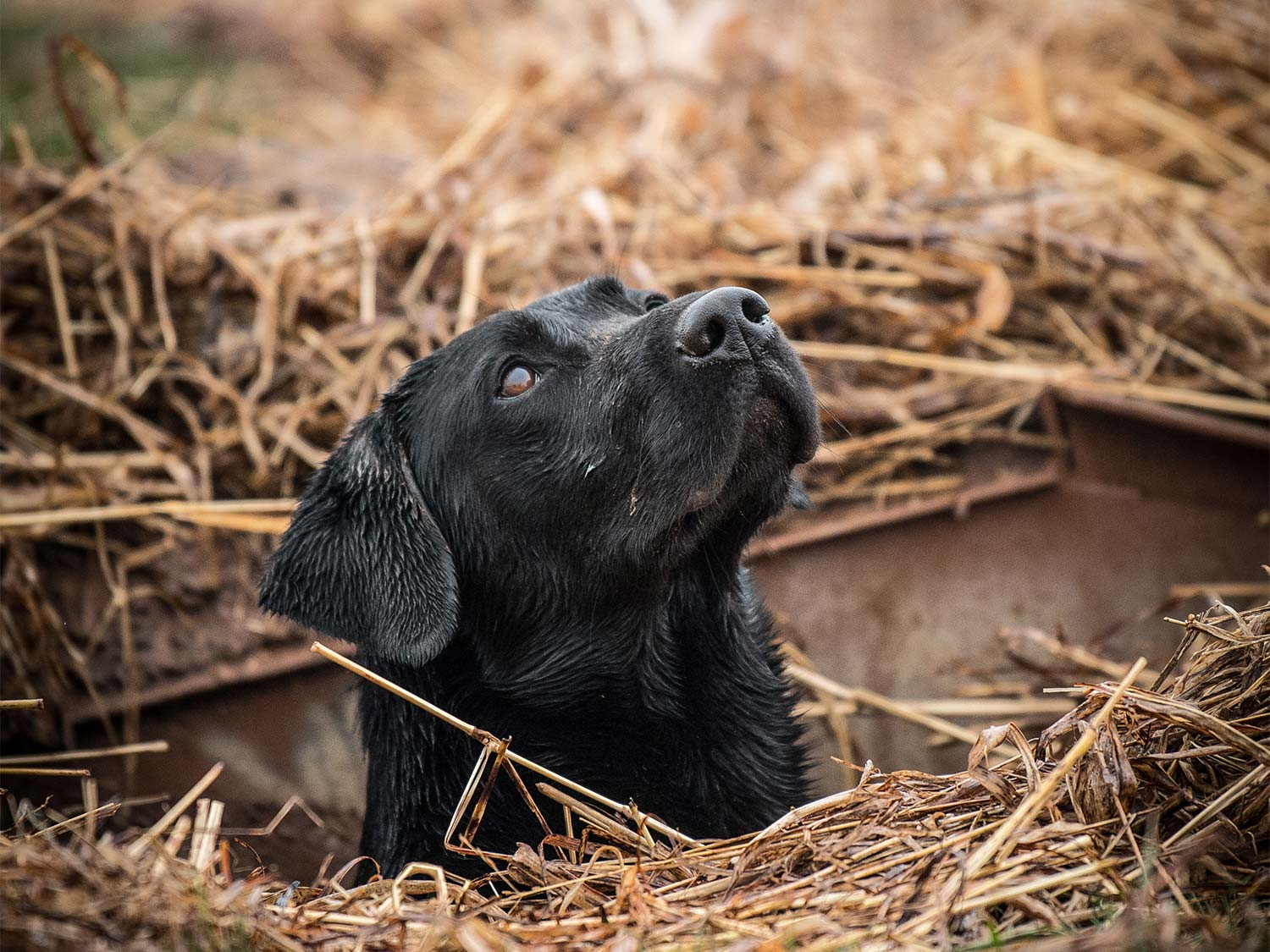 A hunting dog in a brush blind.