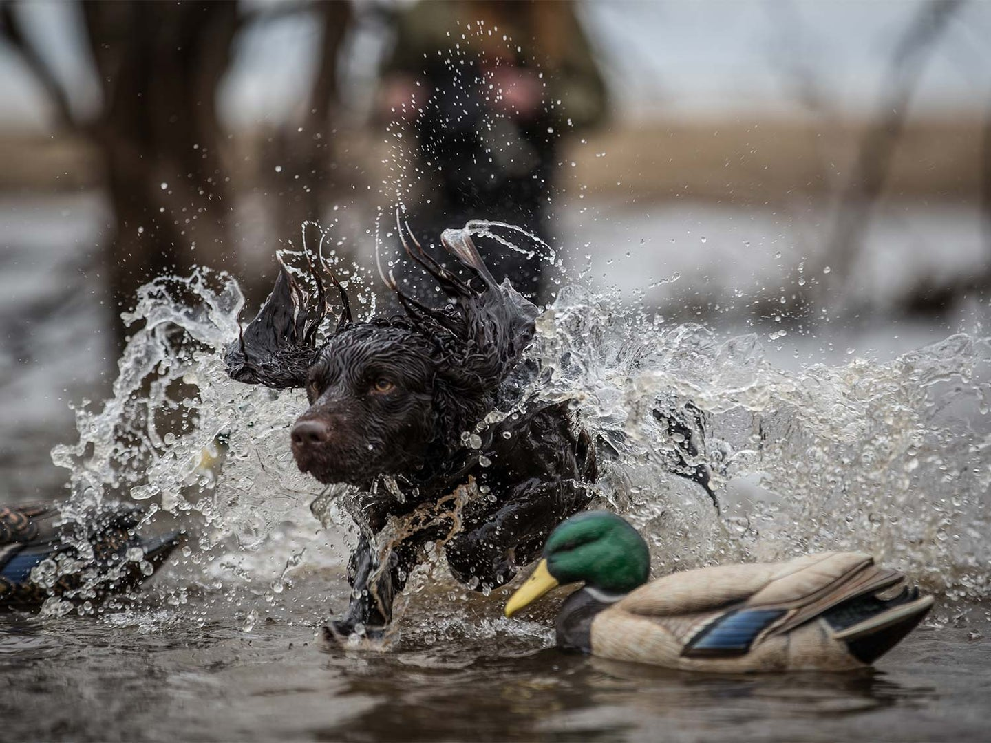 A hunting dog splashing in the water on a retrieve.