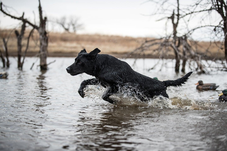 A hunting dog splashing through the water on a retrieve.