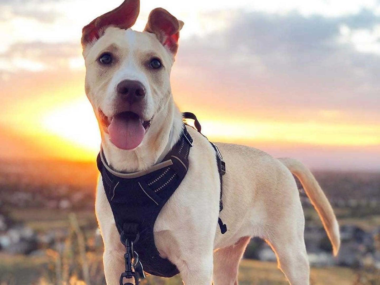 Dog wearing dog vest harness outdoors on walk.