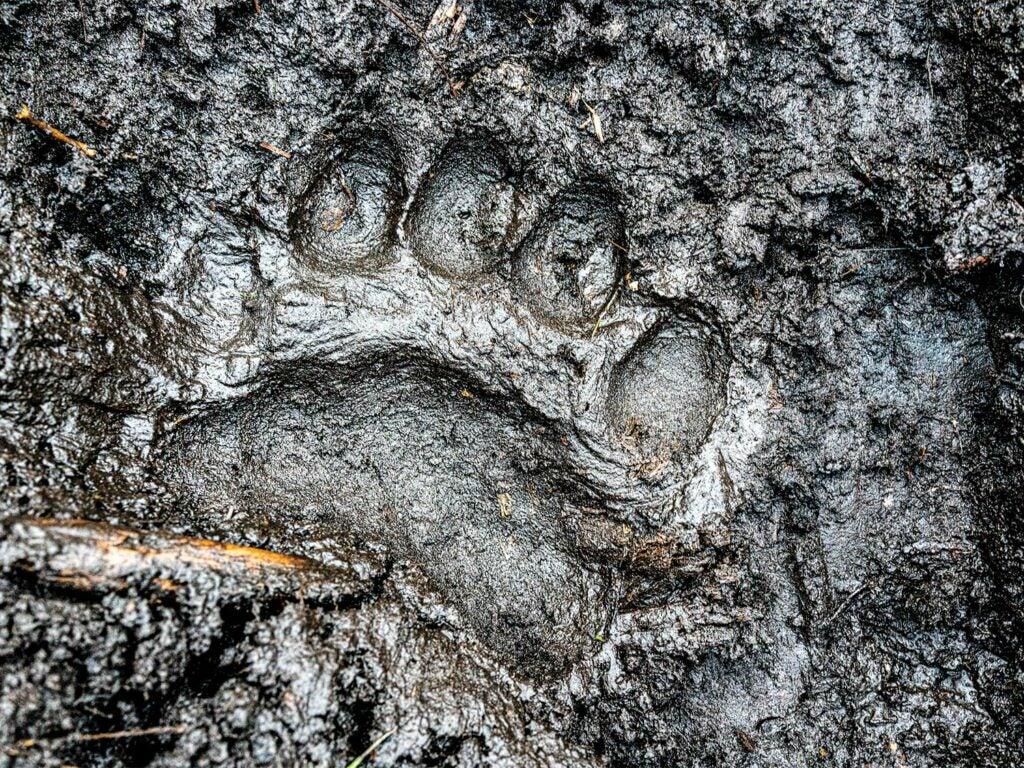 A single black bear track is indented in dark mud.