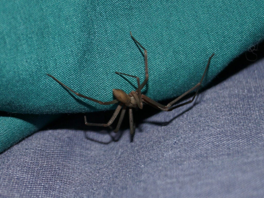 A brown recluse spider crawls into a crevice between two pieces of cloth.