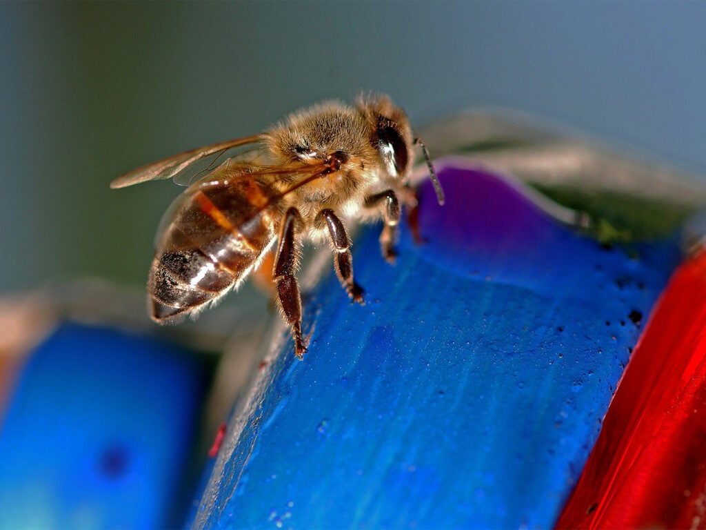 A small African honey bee on a blue and red item.