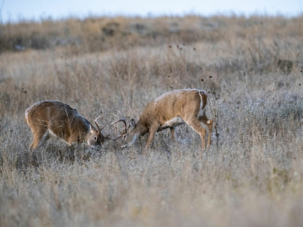 Two whitetail bucks fighting in a large open field.