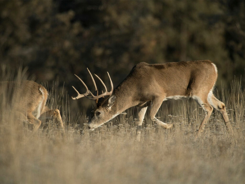 A whitetail buck sniffs and walks behind a whitetail doe.