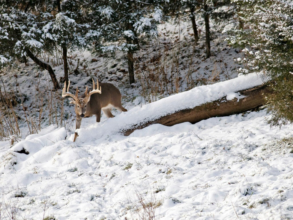 A large whitetail bow walks through a clearing covered with snow.