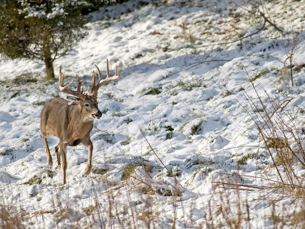 A whitetail deer walks through the snow on a hillside.
