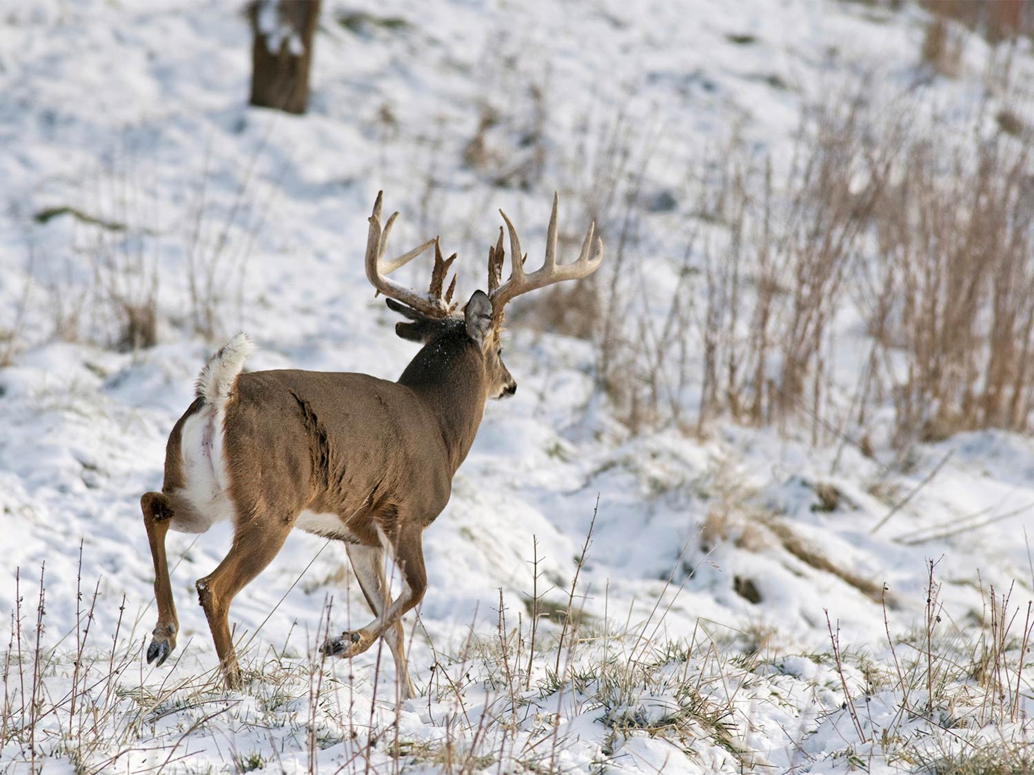 A large whitetail buck running through a snow-covered field.