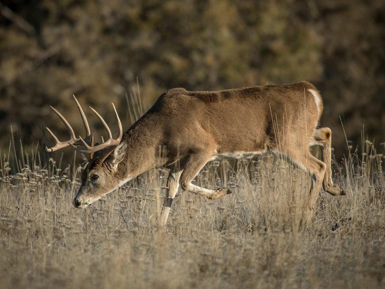 A whitetail deer walks through a large open field.