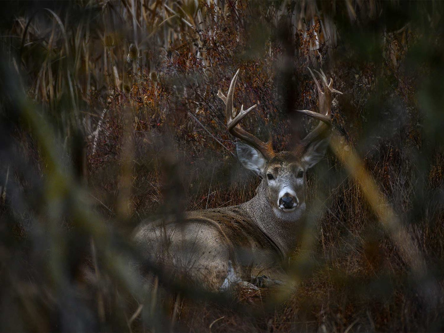 A whitetail buck stays bedded and hidden in tall grass.