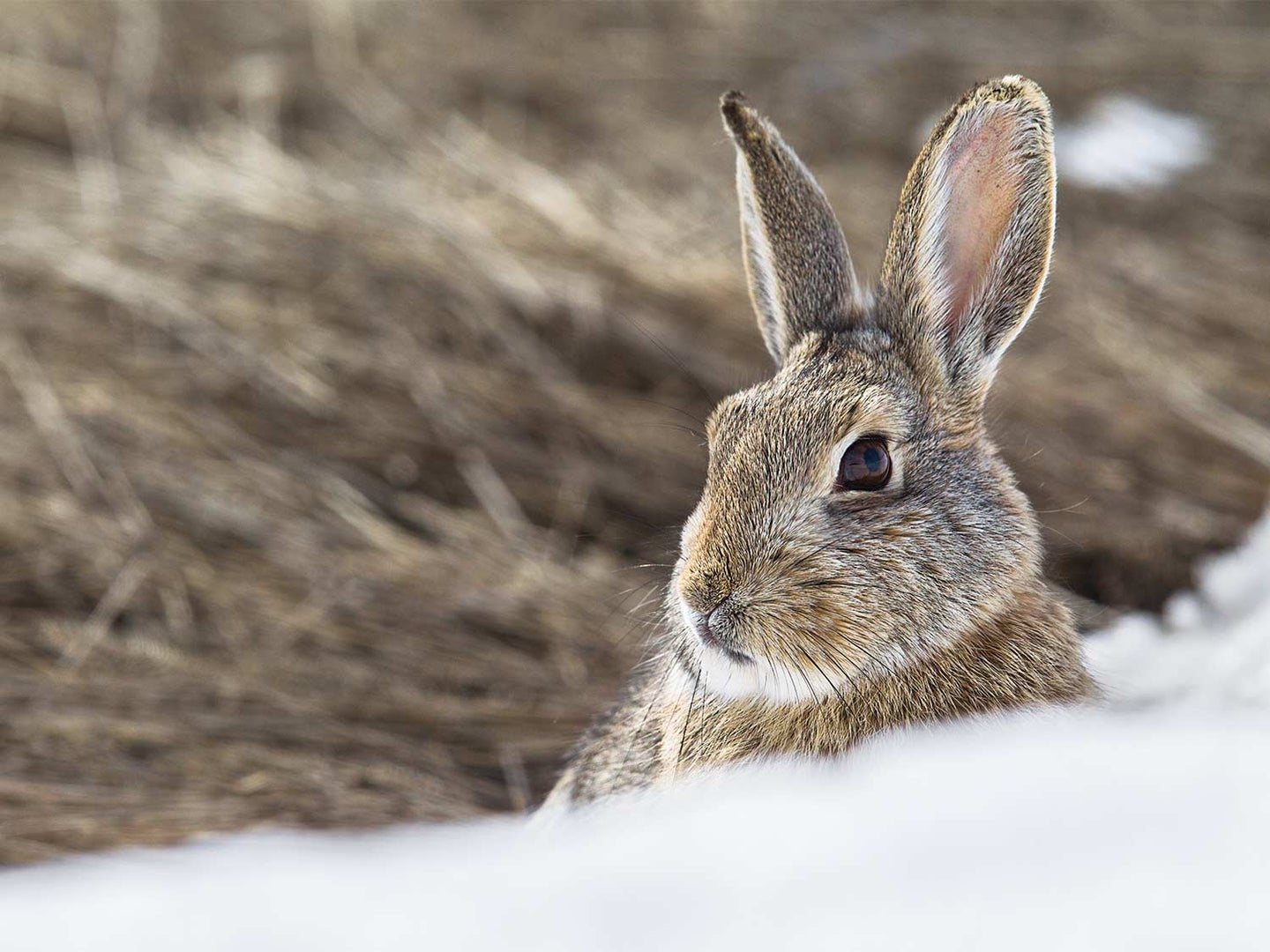 A small cottontail rabbit in the snow.
