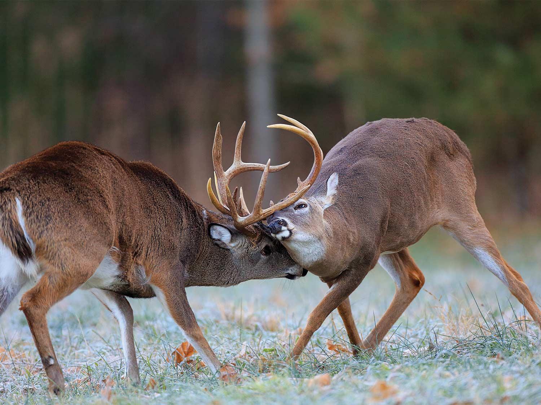 Two whitetail bucks fighting in an open field.