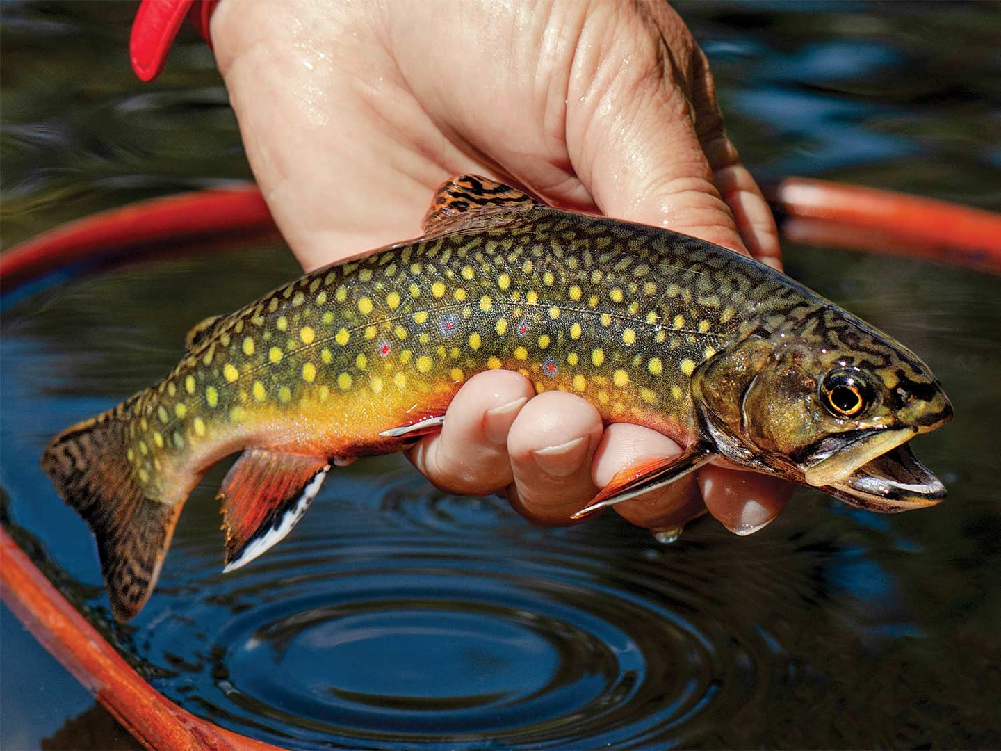 A small trout in the hand of an angler.