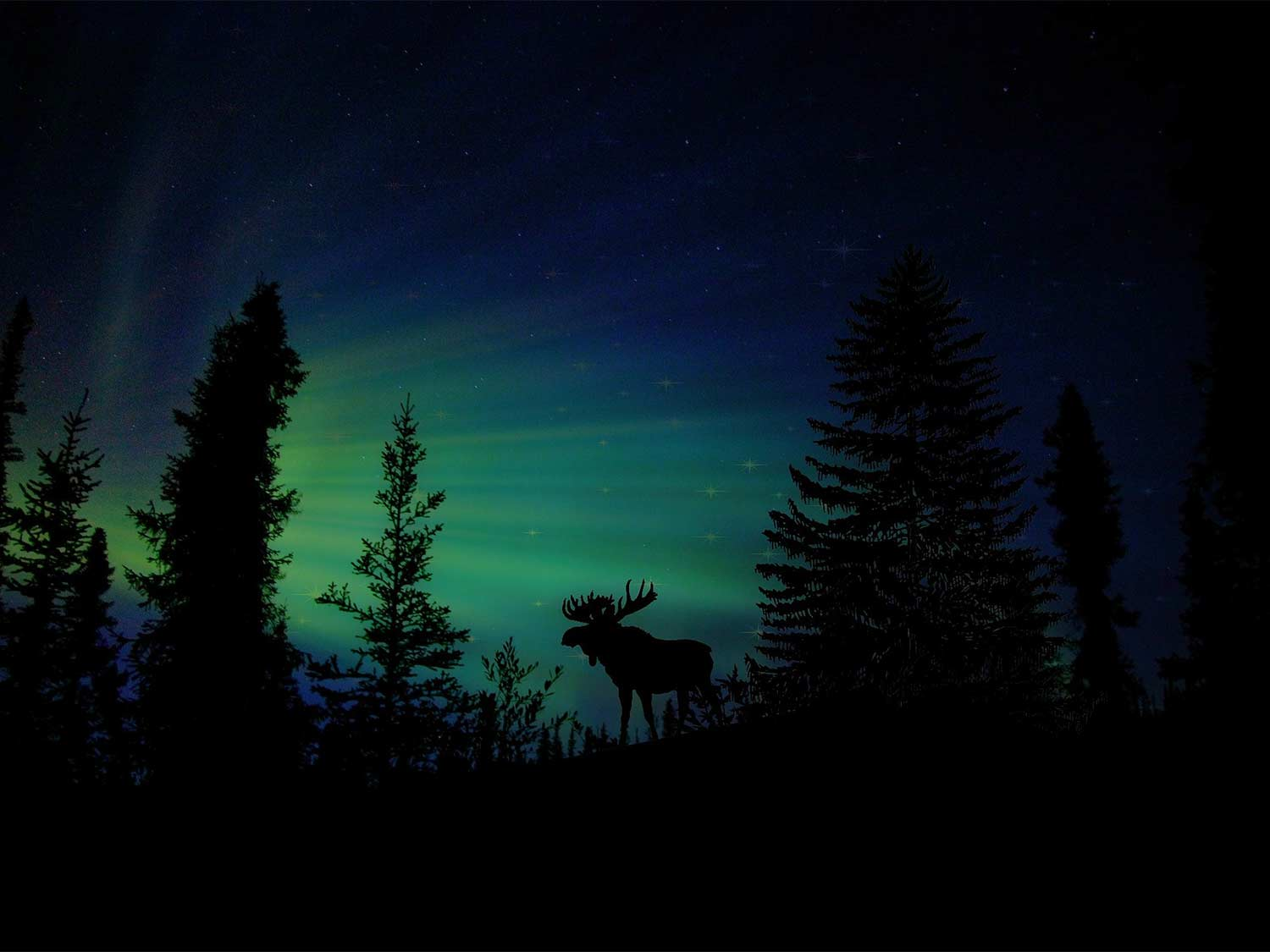 A silhouette of a bull moose against the night-time aurora borealis.