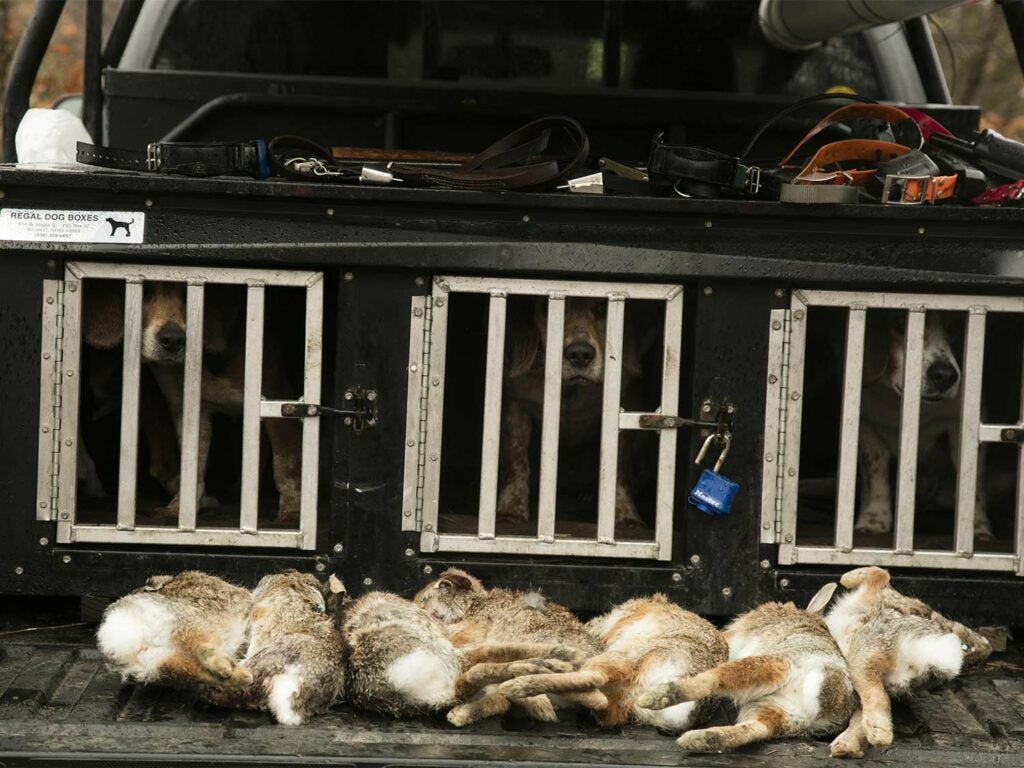 A brace of rabbits on the tailgate of a truck.