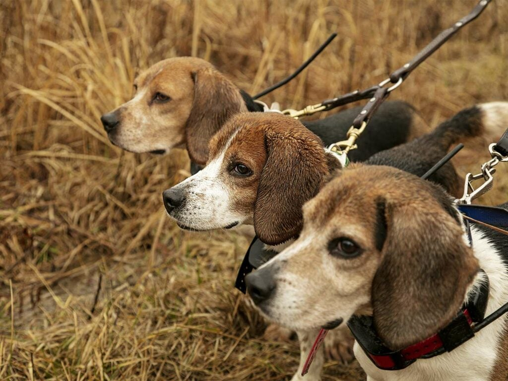 Three beagles lined up in an open field.