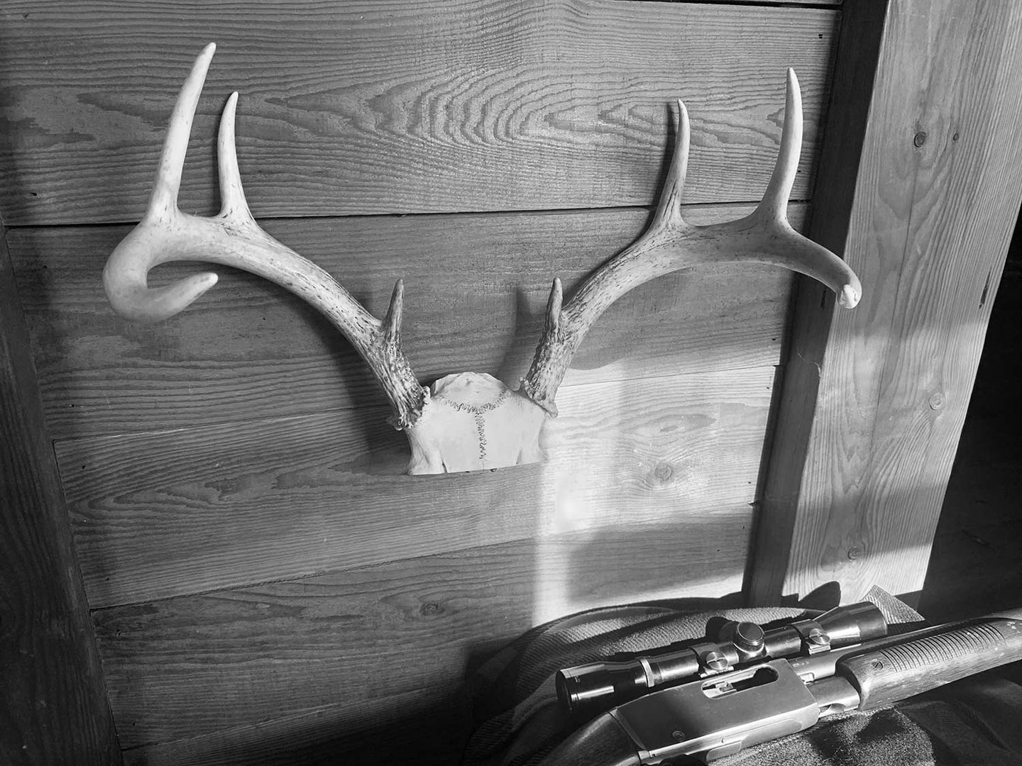 A set of antlers on a wooden wall.