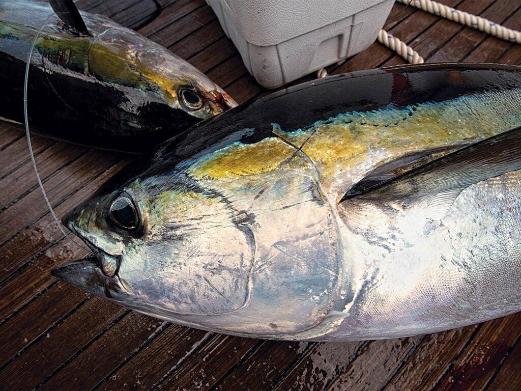 A large bluefin tuna on a boat deck.