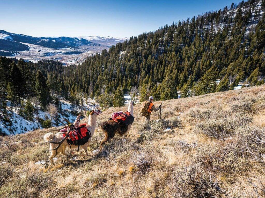A hunter walks through a mountainous hillside trailed by two llamas.